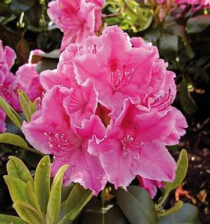 Großblumige Rhododendron Claudine 60-70cm - Alpenrose - Vorschau