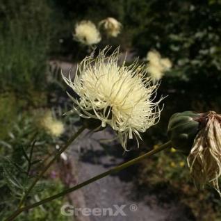 Ukrainische Flockenblume - Centaurea ruthenica - Vorschau