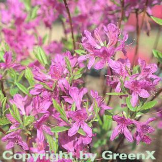 Kanadische Azalee Fraseri 40-50cm - Rhododendron canadense - Vorschau