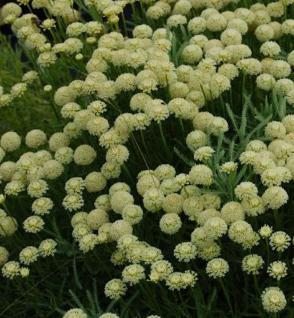 Heiligenkraut Edward Bowles - Santolina chamaecyparissus - Vorschau