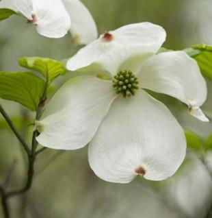 Amerikanischer Blumenhartriegel 80-100cm - Cornus florida - Vorschau
