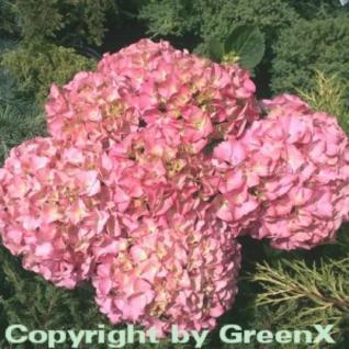 Bauernhortensie Rosita 40-60cm - Hydrangea macrophylla - Vorschau