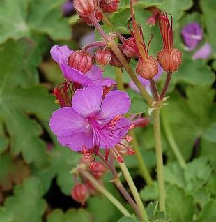 Balkanstorchschnabel Olympos - Geranium macrorrhizum - Vorschau