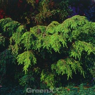 Kanadische Hemlocktanne Gracilis 30-40cm - Tsuga canadensis - Vorschau