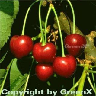 Süßkirsche Korida 60-80cm - dunkelrote süße Früchte - Vorschau