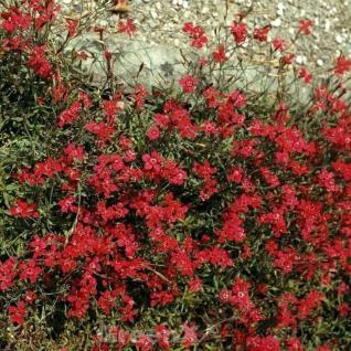 Blutnelke - Dianthus cruentus - Vorschau