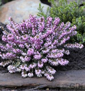 10x Winterheide Columbia - Erica carnea - Vorschau