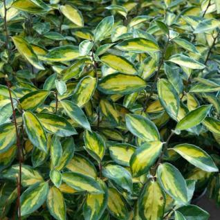 Wintergrüne Ölweide Limelight 60-80cm - Elaeagnus ebbingei - Vorschau