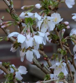 Geschlitzte Zierkirsche Kojou no mai 40-60cm - Prunus incisa - Vorschau