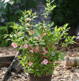 Azalee Corneille 30-40cm - Rhododendron luteum - Alpenrose - Vorschau