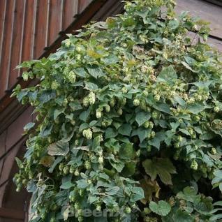 Hopfen Hallertauer Tradition 60-80cm - Humulus lupulus - Vorschau