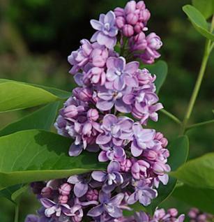 Edelflieder Paul Thirion 30-40cm - Syringa vulgaris - Vorschau