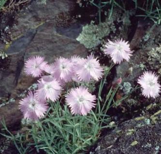 Pfingstnelke La Bourboule - Dianthus gratianopolitanus - Vorschau