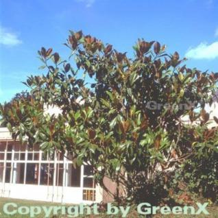 Immergrüne Magnolie Galissoniere 100-125cm - Magnolia grandiflora - Vorschau