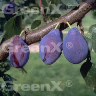 Pflaume Opal 60-80cm - Prunus domestica - Vorschau