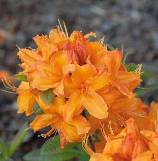 Azalee Rumba 40-50cm - Rhododendron luteum - Alpenrose - Vorschau