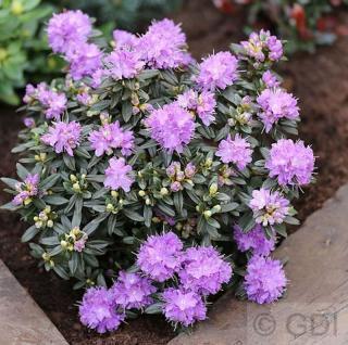 Zwerg Rhododendron Usambara 25-30cm - Rhododendron russatum - Zwerg Alpenrose - Vorschau