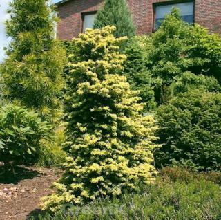 Hemlocktanne Wintergold 60-80cm - Tsuga canadensis - Vorschau