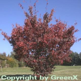 Blut Nelkenkirsche 60-80cm - Prunus serrulata - Vorschau