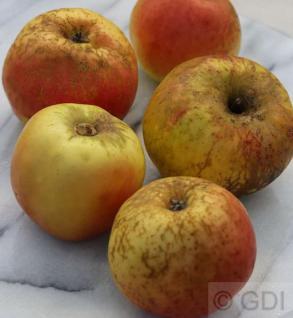 Apfelbaum Pannemanns Tafelapfel 60-80cm - fest und saftig - Vorschau