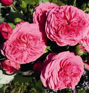 Hochstamm Rose Baronesse® 60-80cm - Tantau Rose - Vorschau