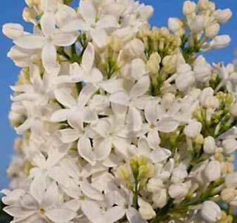 Edelflieder Angel White - Kircher-Collection 40-60cm - Syringa hyacinthiflora - Vorschau