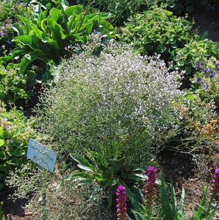 Meerlavendel Blauer Diamant - Limonium latifolium - Vorschau