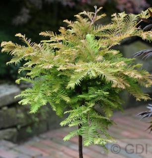 Hochstamm Urweltmammutbaum Miss Grace 60-80cm - Metasequoia glyptostroboides - Vorschau
