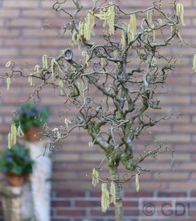Korkenzieher Hasel 80-100cm - Corylus avellana - Vorschau