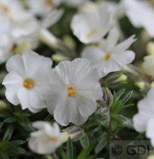 Teppich Phlox Maischnee - Phlox subulata - Vorschau