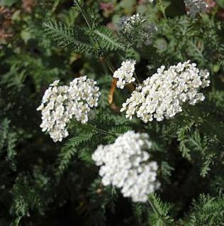 Schafgarbe Schneetaler - Achillea millefolium - Vorschau