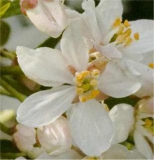 Orangenblume Aztec Pearl 40-60cm - Choisya ternata - Vorschau