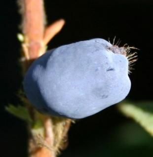 Heckenkirsche MyBerry® Blue Velvet 30-40cm - Lonicera kamtschatica - Vorschau