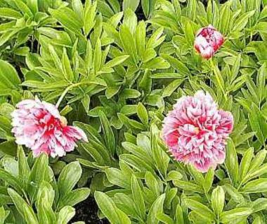 Pfingstrose Rosea Plena - Paeonia officinalis - Vorschau