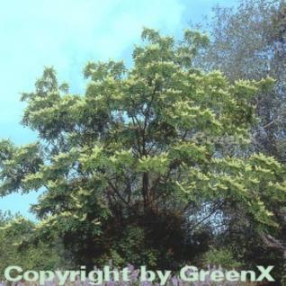 Asiatische Gelbholz 80-100cm - Maackia amurensis - Vorschau