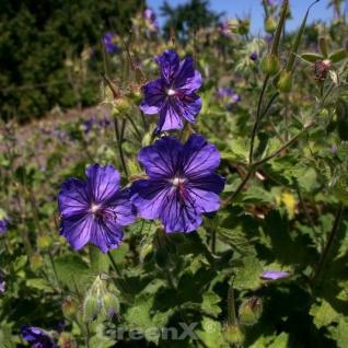 Blauviolett Storchenschnabel Turco - Geranium pratense - Vorschau