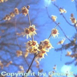 Chinesische Winterblüte 60-80cm - Chimonanthus praecox - Vorschau