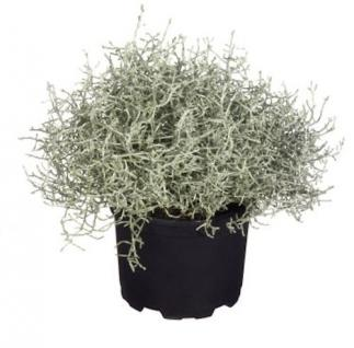 10x Stacheldraht Silberbush 10-15cm - Calocephalus brownii - Vorschau