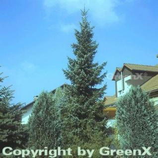 Serbische Fichte 125-150cm - Picea omorika - Vorschau