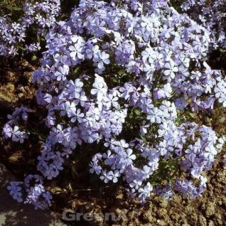 Niedrige Flammenblume Blue Dreams - Phlox divaricata - Vorschau