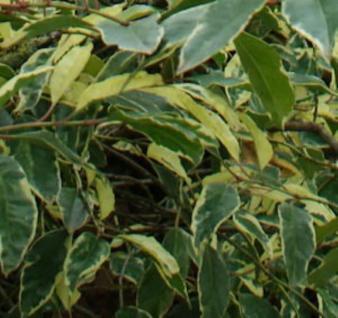 Portugiesischer Kirschlorbeer Variegata 60-80cm - Prunus lusitanica - Vorschau