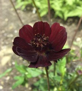 Schokoladenblume Dark Secrets - großer Topf - Cosmos atrosanguineus - Vorschau