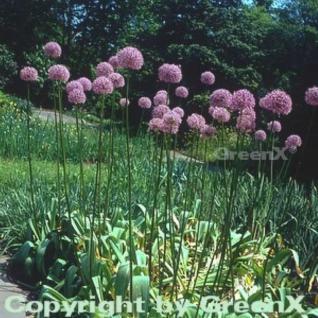 Riesenlauch - Allium giganteum - Vorschau