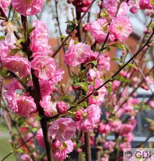Mandelbäumchen Busch 60-80cm - Prunus triloba - Vorschau
