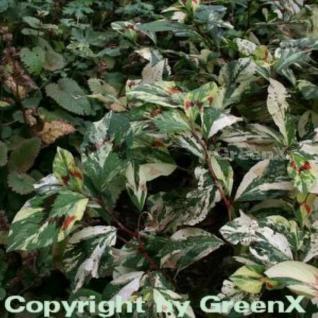 Perlenschnur Knöterich Painters Palette - Persicaria filiformis - Vorschau