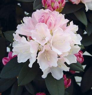 Rhododendron Dreamland 30-40cm - Alpenrose - Vorschau