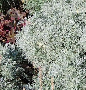Eberraute Powis Castle - Artemisia abrotanum - Vorschau