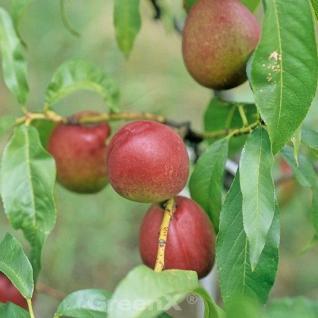 Nektarine Fantasia 60-80cm - Prunus nucipersica - Vorschau
