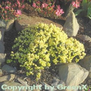 Zwerg Rhododendron Wren 15-20cm - Rhododendron ludlowii - Vorschau