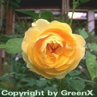 Englische Rose Graham Thomas® 30-60cm - Vorschau